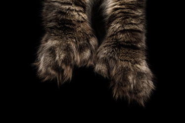 Polydactyl cat's paws