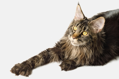 Polydactyl Maine Coon cat