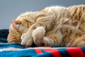 Polydactyl cat