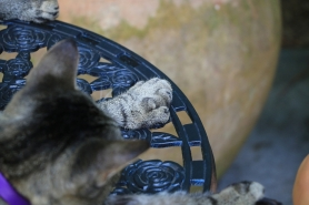Hemingway's polydactyl cats