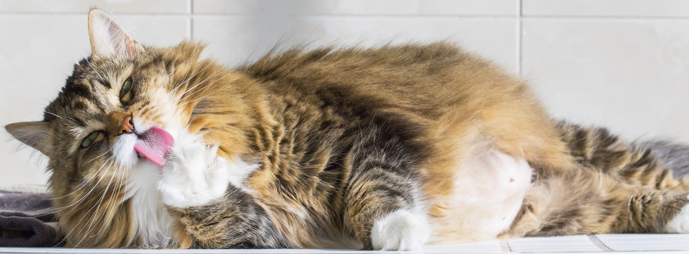 Long hair cat grooming
